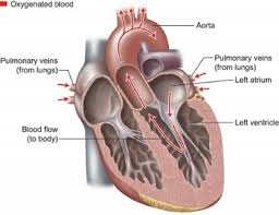 There are three major types of blood vessels: How The Heart Blood Vessels Work Heart Vascular Institute Temple Health