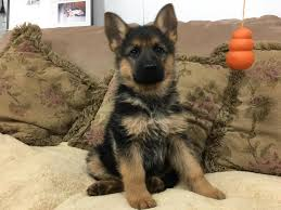 black and brown german shepherd puppies. Wonderful German Black U0026 Red Female German Shepherd Puppy On And Brown Puppies