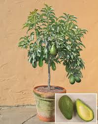 Best 25 Miniature Fruit Trees Ideas On Pinterest  Dwarf Fruit Pots For Fruit Trees