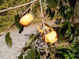 118 Best Fruit TreesFruit Plants Images On Pinterest  Fruit Fruit Tree Nursery North Carolina
