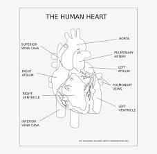 Zygote body is a free online 3d anatomy atlas. Human Body Diagram Black And White Human Anatomy