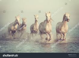 beautiful horses running in water. Modren Water Beautiful White Horses Run Gallop In The Water At Soft Sunset Light  Vintage Image With Horses Running In Water A