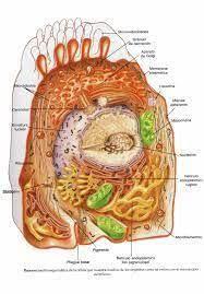 022 - PROTOPLASMA - QUIMICA DE LOS ALIMENTOS – El protoplasma es el  material viviente de la célula, es decir, todo el interior de la célula  (también el núcleo y…