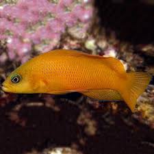 Dottyback Compatibility Chart Yellow Dottyback Pseudochromis Aureus