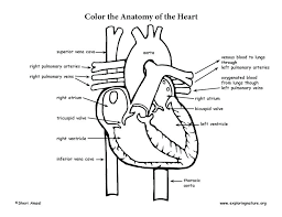 A Heart Coloring Page Pages Pdf Anatomy Dpalaw