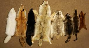 the photo above shows a variety of wild canadian fur pelts purchased in winnipeg in december 2016 this helps to ilrate the difference in sizes