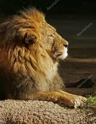 5,341 Lion and sun Stock Photos | Free & Royalty-free Lion and sun Images | Depositphotos