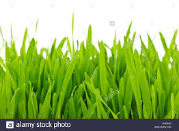 grass blade close up. Closeup Of Green Tall Grass Blades On White Background Blade Close Up F