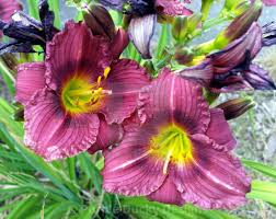 Daylily Designs Daylilies License Download Or Print For 6 20 Photos