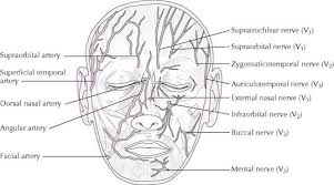 arteries of the face the head basicmedical key