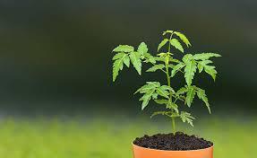 vastu for plants trees vastu shastra tips for plants neem tree