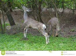 What Is Idaho Known For Mule Deer Nibbles At Tree In Boise Idaho Stock Image Image Of