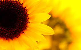 Sunflower HD desktop wallpaper ...