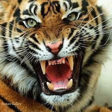 tiger face growling.  Face Growl  Throughout Tiger Face Growling I