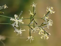 Silene italica (L.) Pers. subsp. sennenii (Pau) O. Bolòs et Vigo