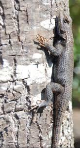 Eastern Fence Lizard Wikipedia