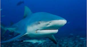 Shark Animal Digestion
