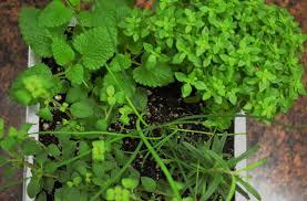 starting an herb garden culinary herbs