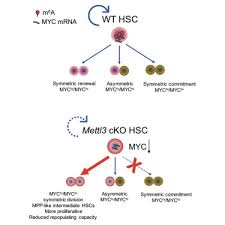 Hematopoietic Stem Cell Chart M6a Rna Methylation Maintains Hematopoietic Stem Cell