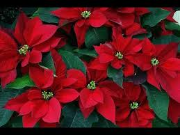 poinsettia christmas flower - Flowers Ideas