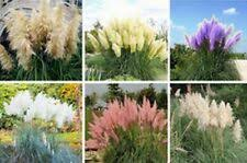 <b>Pampas Grass</b> Cortaderia Full Sun Ornamental Grasses | eBay