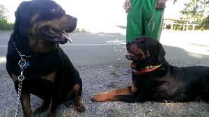 german rottweiler dog. german rottweiler vs american 125 lbs 98 ~solid~ - youtube german rottweiler dog