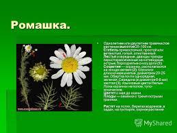 Презентация на тему Растения нашего края Презентацию выполнила  5 Ромашка Однолетнее