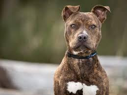 American pitbull terrier wesen & charakter ✓ bilder der hunderasse und eine umfangreiche rassebeschreibung | welpen.de. American Pitbull Terrier Im Rasseportrait Zooroyal Magazin