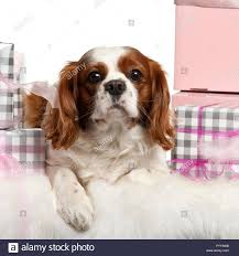 cavalier king charles spaniel lying with gifts in front of white background