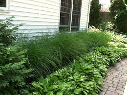 Tall Decorative Grass 17 Best Ideas About Grasses On Pinterest Tall Ornamental Grasses