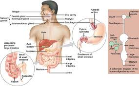 Accessory Organs Of The Digestive System Custom 32 Elegant Digestive System Accessory Organs Flow Chart Flowchart