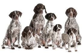 cost of a german shorthaired pointer