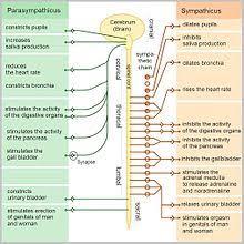Autonomic Nervous System Wikipedia