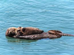 an otter and its pup in morro bay california morro bay is a marine