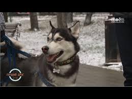 Лучший друг <b>Сибирский Хаски</b> - YouTube