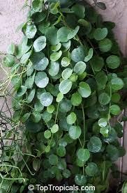 cissus rotundifolia arabian wax leaf peruvian g ivy venezuelan treebine succulent g