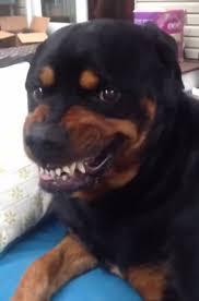 rottweiler dog mean. +5 rottweiler dog mean
