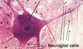 Structure And Types Of Neuron The Nervous Tissue Online