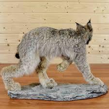 lynx size canadian lynx taxidermy mount sw4414 for sale safariworks