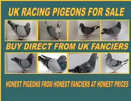 carrier pigeon for sale. carrier pigeon for sale