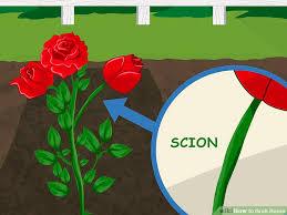 image titled graft roses step 2