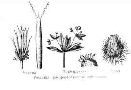 Реферат Плод Формирование и строение Раздел Соплодия Плоды распространяемые животными