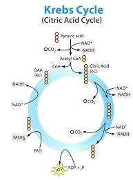 Krebs Cycle Ck 12 Foundation