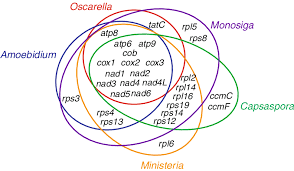 Venn Diagram Complement Gene Complement Of Mitochondrial Genomes In Holozoa Shown As A Venn