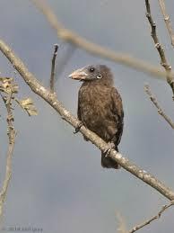 Naked Faced Barbet Birdforum