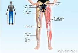 Upper Leg Muscle Chart Leg Picture Image On Medicinenet Com