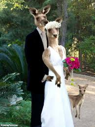 Image result for kangaroo marriage