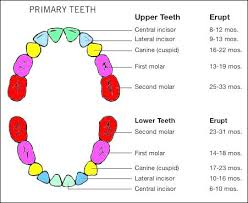 Teething Chart For Babies Baby Tooth Chart Eruption Record Great For Health Dental Care