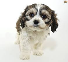 Cavachon Puppy Weight Chart All About The Cavachon Dog Pets4homes