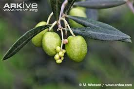Fifty Shades Of Green Changing Olive Trees  Notes From A Tuscan Wild Olive Tree Fruit